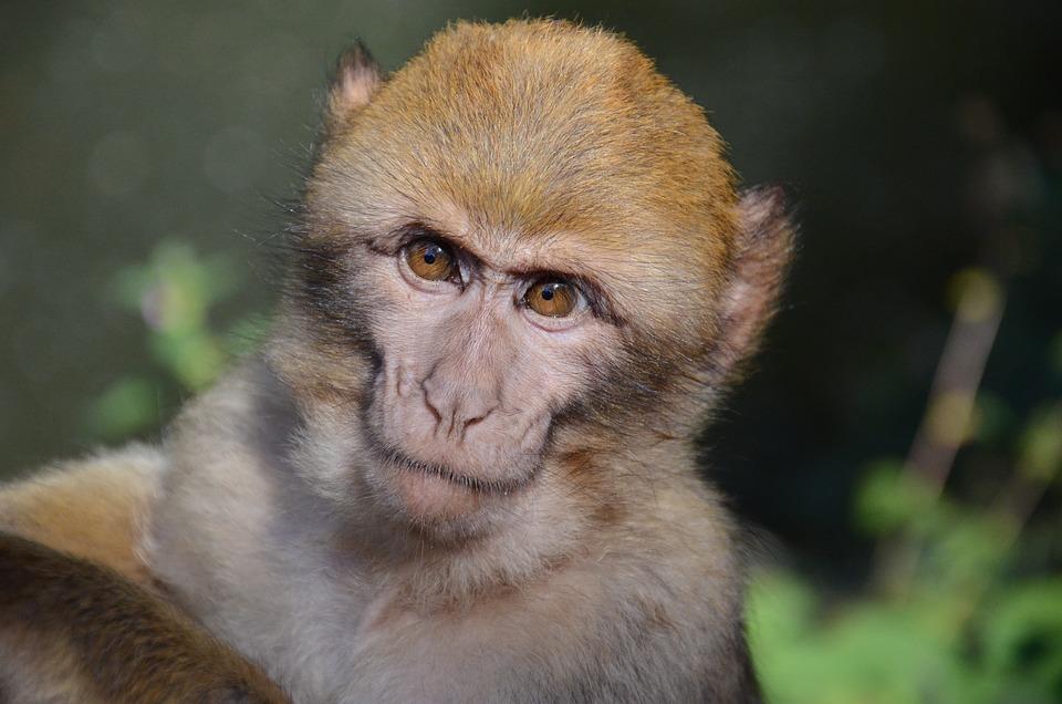 Monkey, Face, Zoo, Primate, Animal, Mammal, Portrait