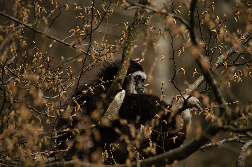 Gibbon, Monkey, Tree, Primate, Zoo, White-handed Gibbon