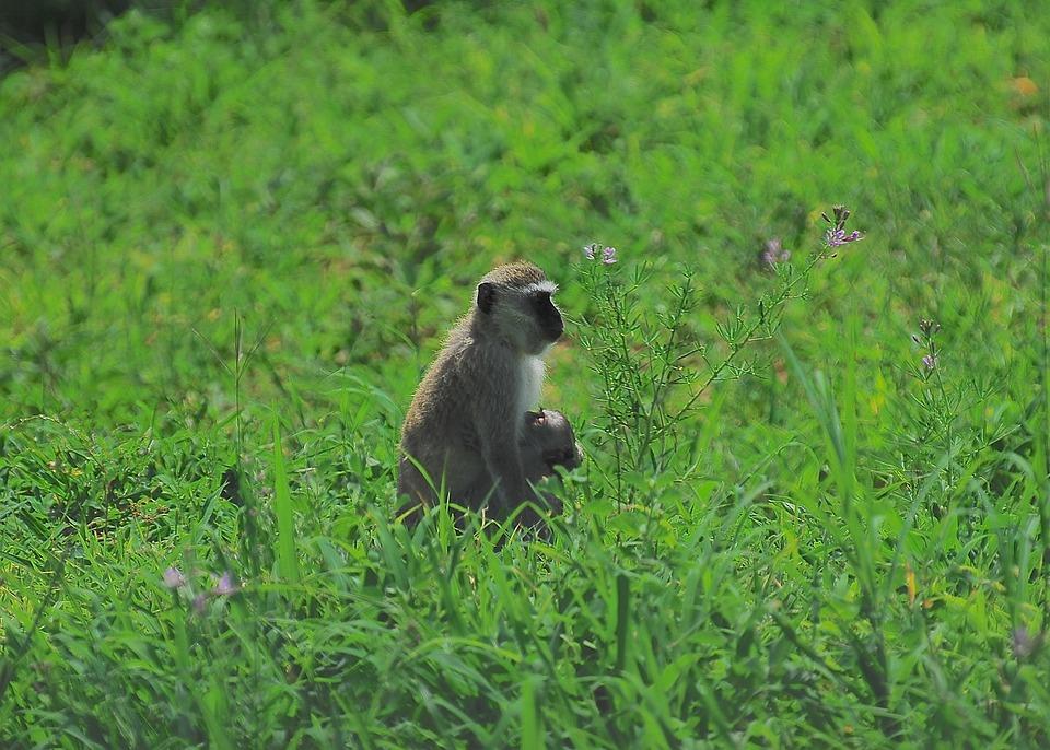 Vervet Monkey, Monkeys, Vervet, Wildlife, Wild, Animal