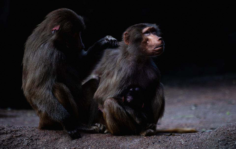 Baboons, Monkeys, Mammals, Animal, Wildlife, Primates