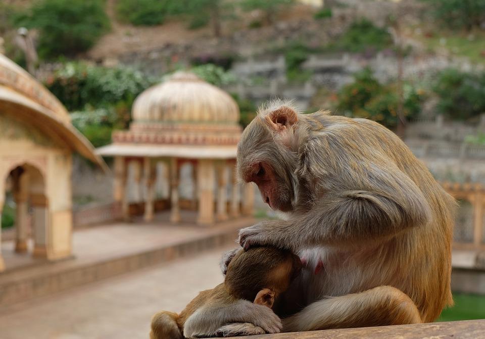 Monkeys, Temple, India