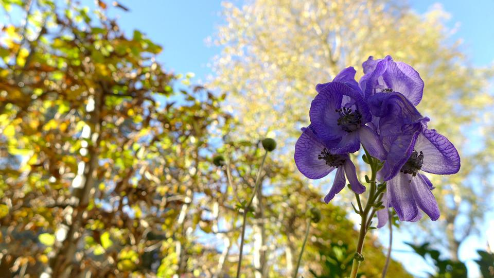 Monkshood, Toxic, Plant, Poisonous Plant, Flora