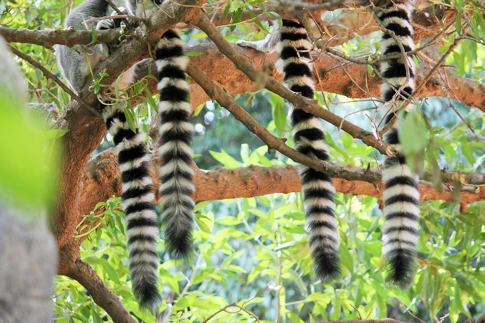 Tails, Lemur, Mono, Animals, Animal, Exotic Animal