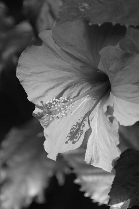 Nature, Monochrome, Flower