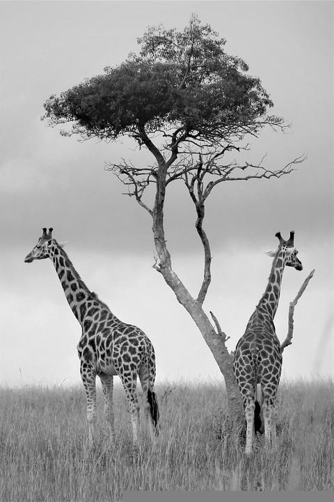 Uganda Wildlife, Monochrome, Black And White, Giraffes