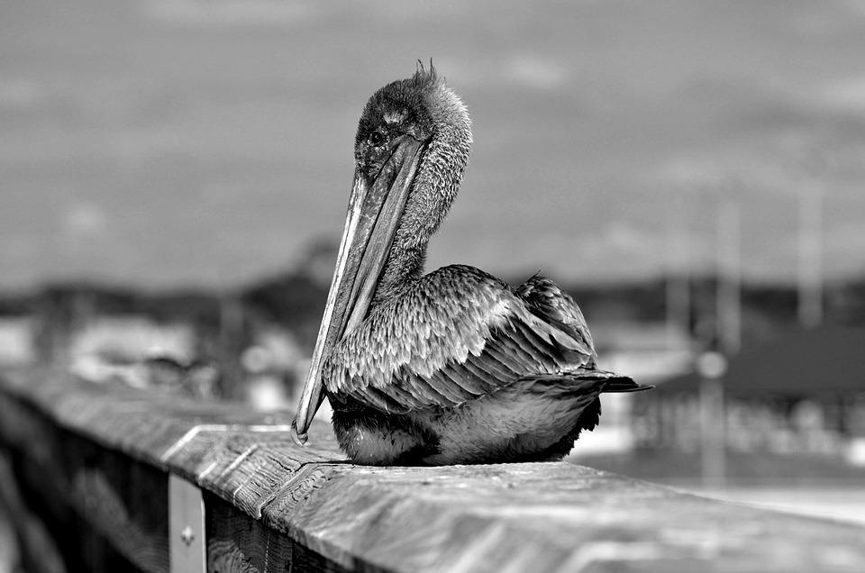 Pelican, Wildlife, Bird, Avian, Monochrome, Nature