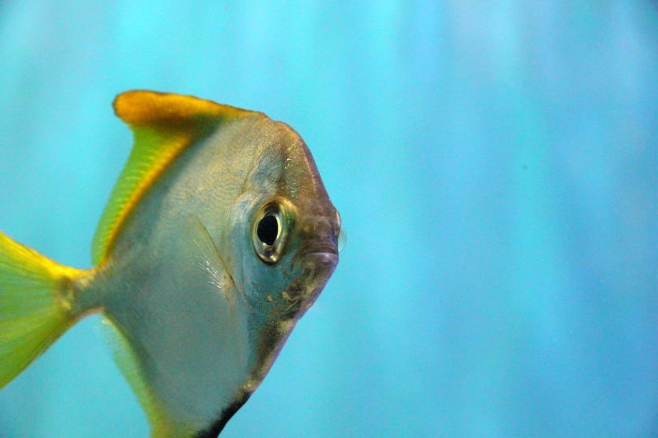 Monodactylus Silver Fish, Monodactylus Argenteus