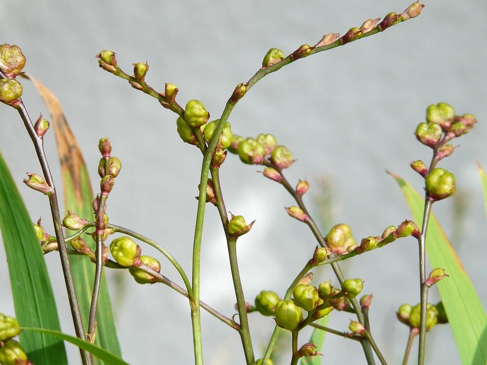 Seeds, Seed Capsules, Montbretia, Garden Montbretia