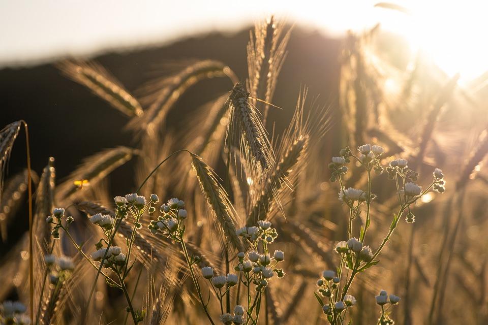 Rye, Cereals, Mood, Backlighting, Cornfield, Field