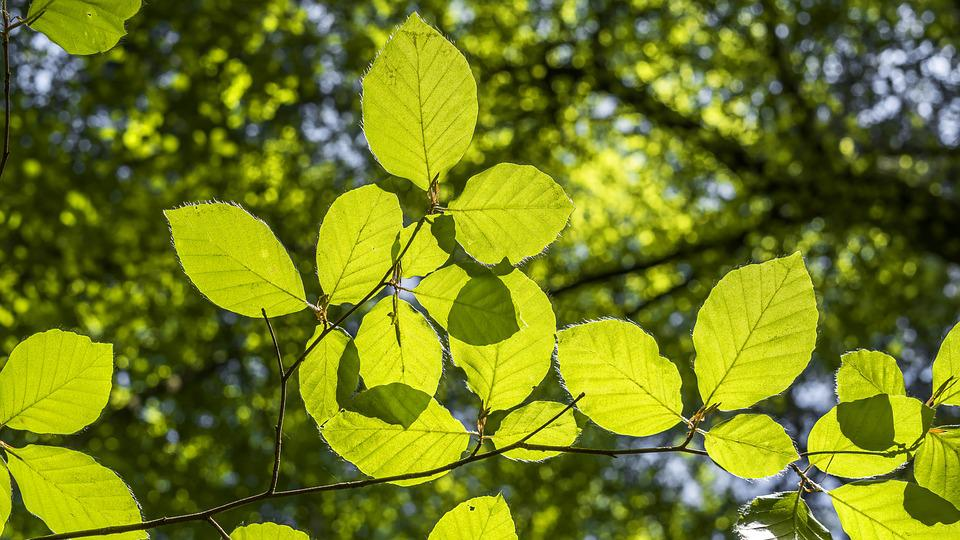 Beech, Green, Forest, Leaves, Light On, Mood, Structure