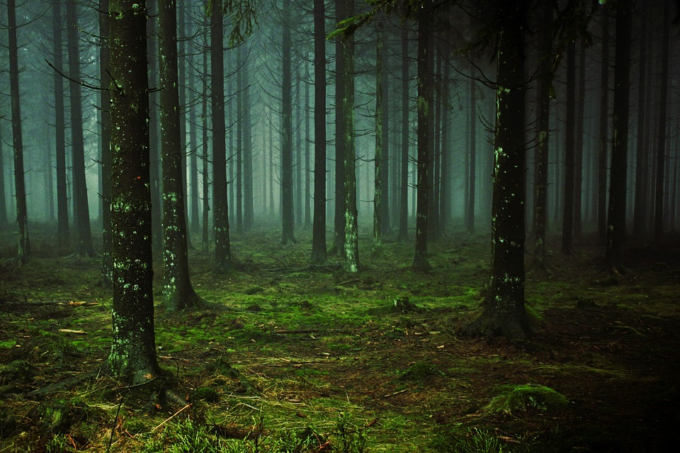 Forest, Fog, Tree Trunks, Trees, Nature, Mood