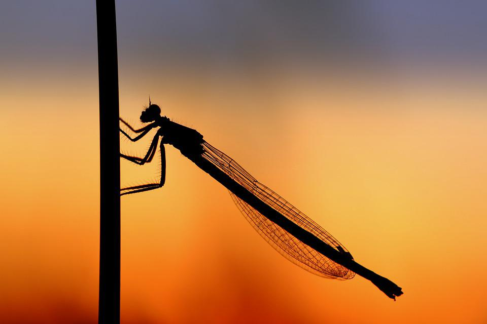 Dragonfly, Silouhette, Sunset, Close Up, Insect, Mood