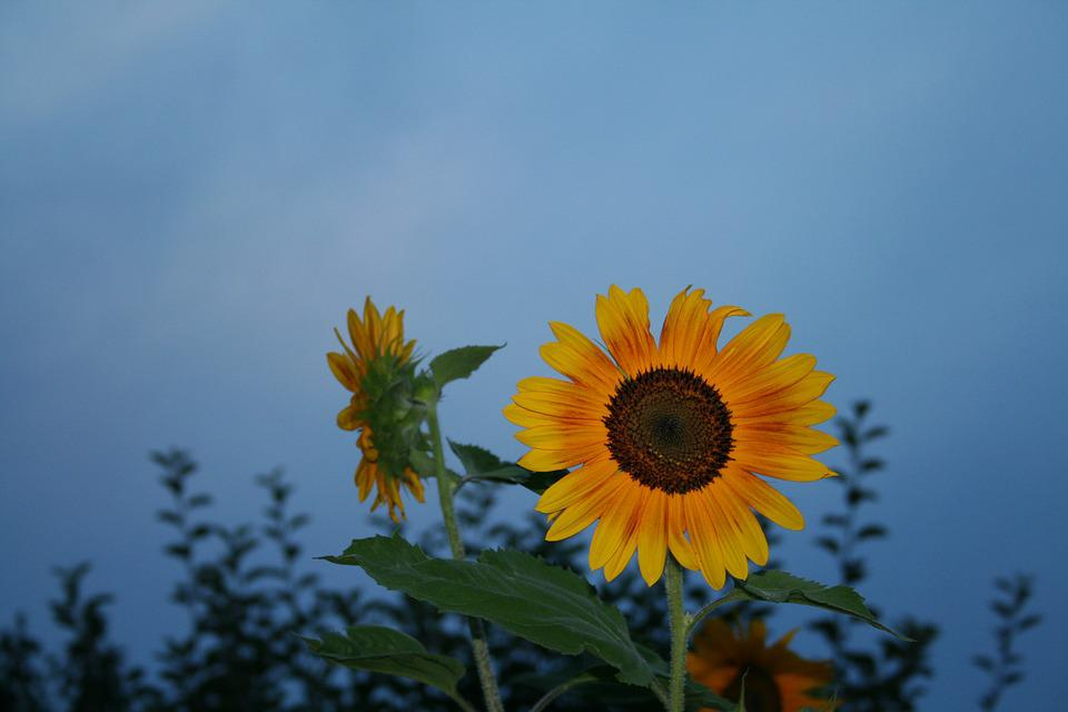 Sun Flower, Mood, Yellow, Blue Sky, Summer