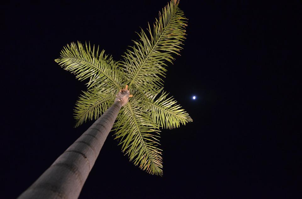 Palm Tree, Nocturne, Moon