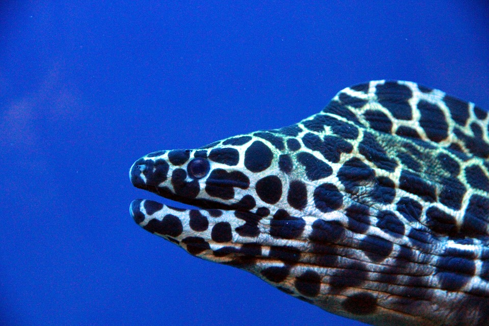 Honeycomb Moray, Gymnothorax Favagineus, Moray