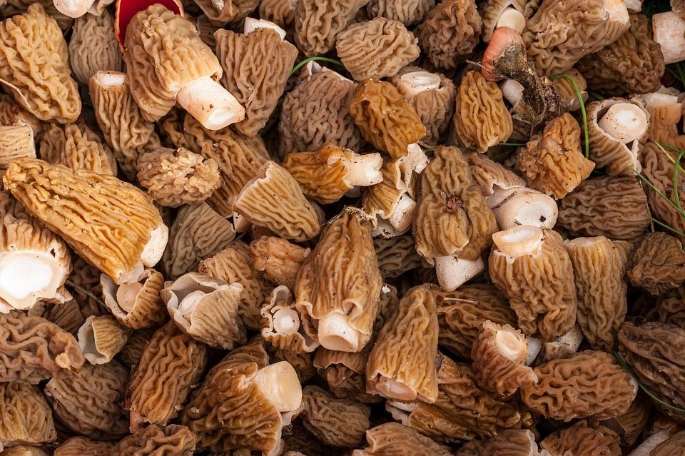 Morel, Nature, Mushrooms