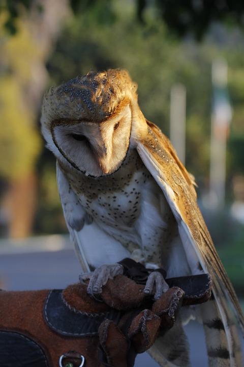 Owl, Zoo, Morelia