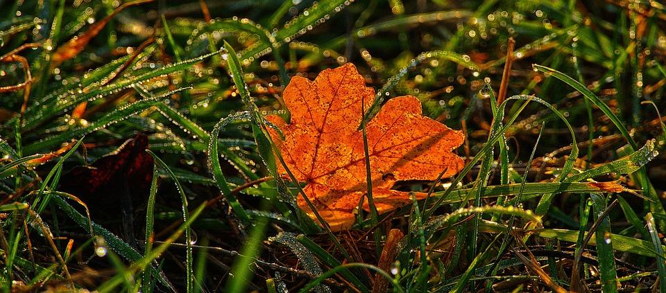 Maple Leaf, Grass, Dewdrop, Backlighting, Morgentau