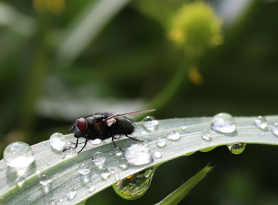 Insect, Fly, Close, Dew, Leaf, Green, Morgentau, Drink