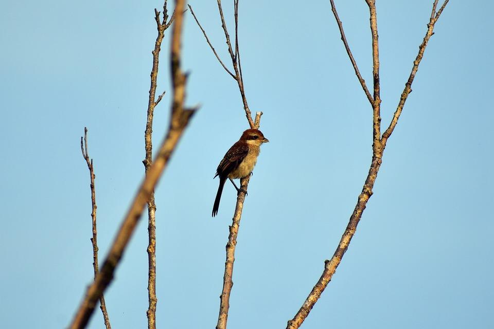 Animal, Sky, Morning, Wood, Bird, Wild Birds, Shrike
