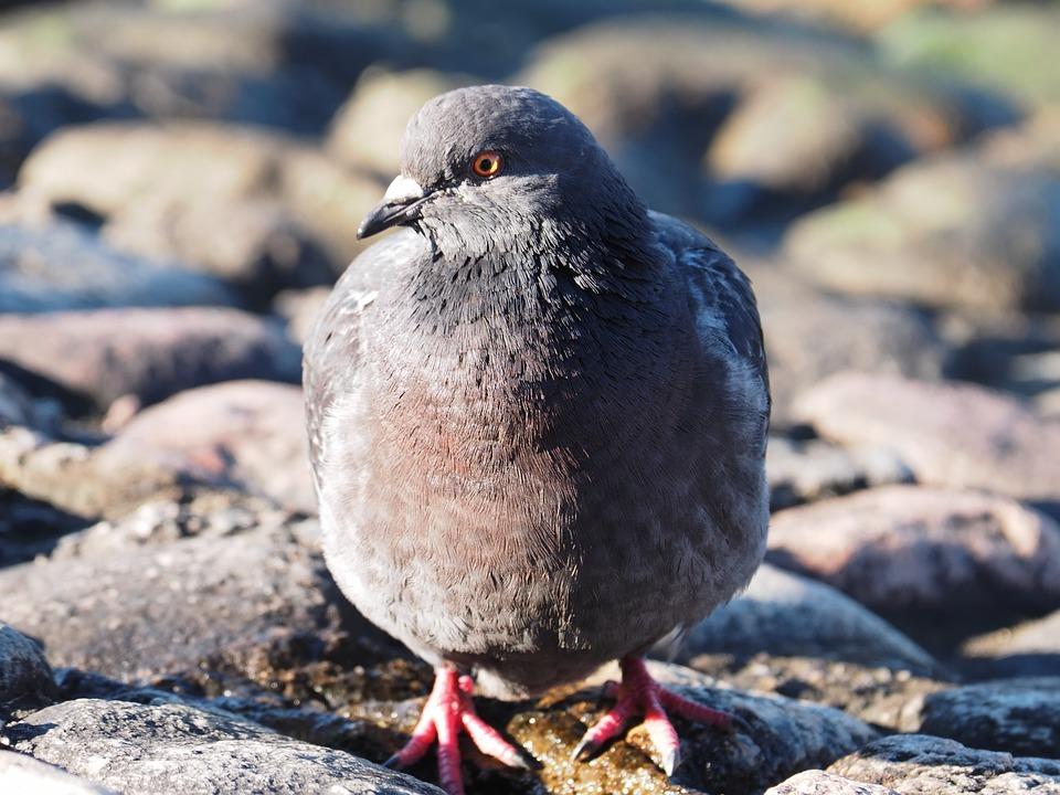 Bird, Dove, Drinking, Nature, Morning, Stones, Eye