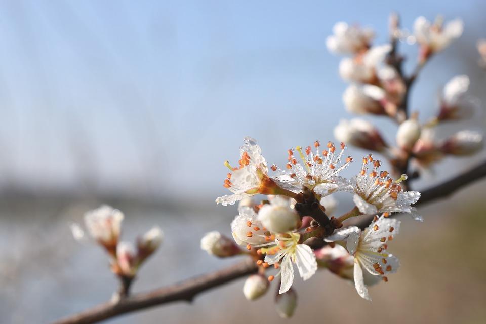 Cherry Blossom, Flowers, Dew, Morning Dew, Dewdrops