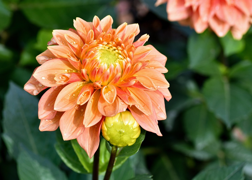 Dahlia, Flower, Dew, Morning Dew, Bud, Orange Flower