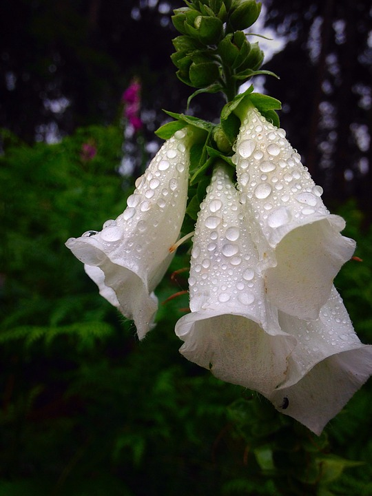 Foxgloves, Dew, Water, Morning, While, Bloom, Flower