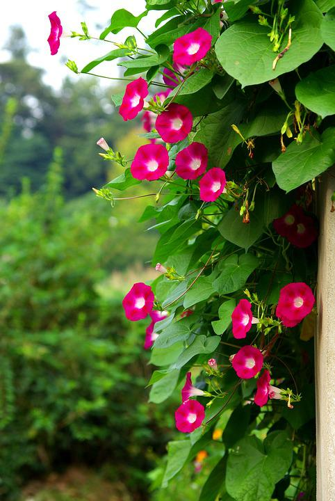 Nature, Leaf, Garden, Summer, Plants, Morning Glory