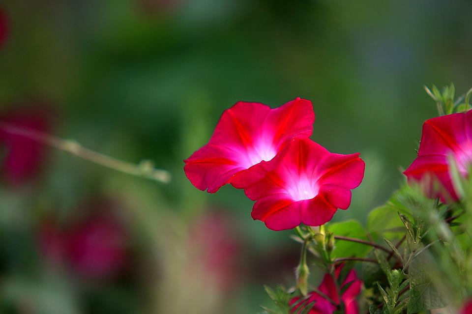 Flowers, Nature, Plants, Garden, Summer, Morning Glory