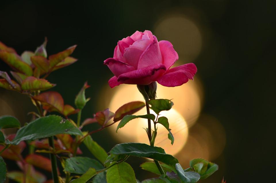 Rose, Beauty, Morning Glory, Petal, Sunset