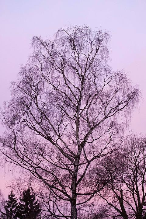 Dawn, Birch, Morning, Morning Hour, Feel, Mood