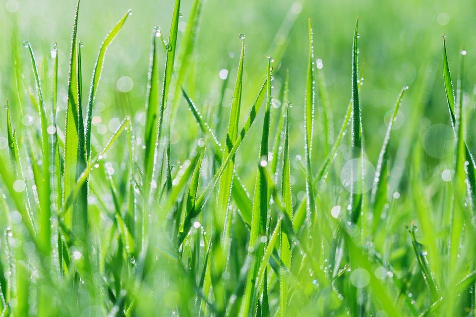 Wet Grass, Rosa, Summer, Nature, Morning, Green, Grass