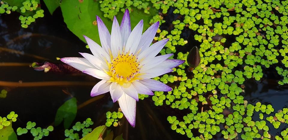 Nymphaea Alba, Nature, Plant, Morning, Purple