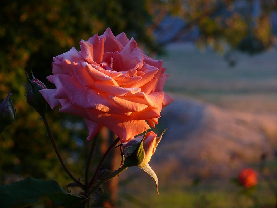 Rose, Morning, Dew, Sunrise, Flower, Bud, Petal, Pink
