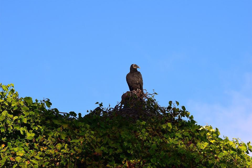 Vulture, Silo, Morning, Sunrise, Ivy, Vines, Wildlife