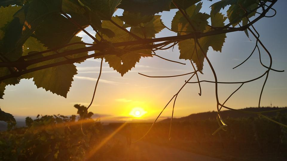 Sunrise, Sun, Morning, Vineyard, Leaf, Wake Up