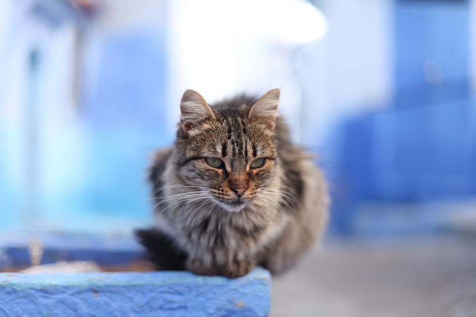 Cat, Tiger, Morocco, Alley Cat