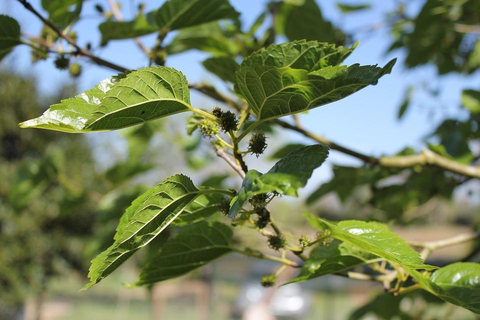 Morus Alba, Tree, Spring, Fruit, Leaves, Green, Nature