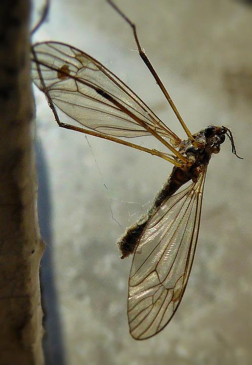 Mosquito, Macro, Wings, Bug