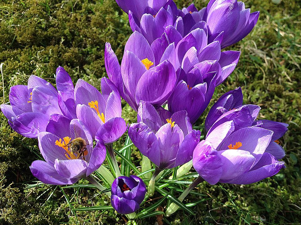 Free Photo Moss Early Spring Flowers Crocus Purple Max Pixel