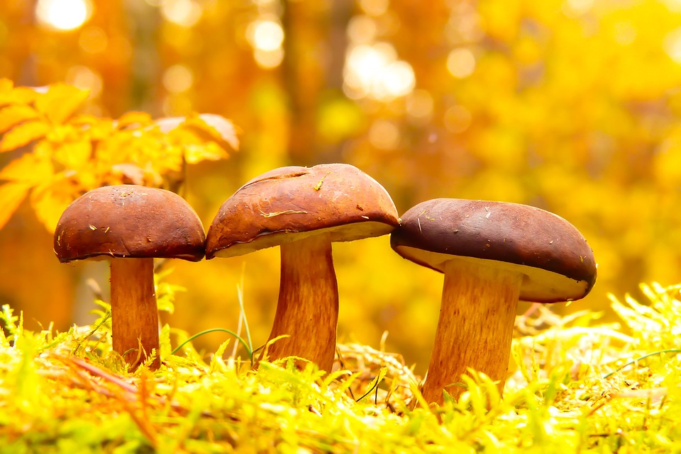 Podgrzybki, Mushrooms, Family, Bokeh, Moss, Autumn