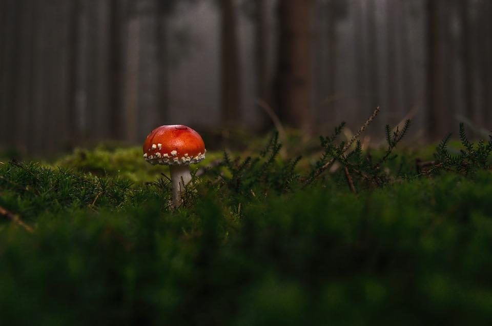 Forest, Fly Agaric, Fog, Moss Fliegenpilz