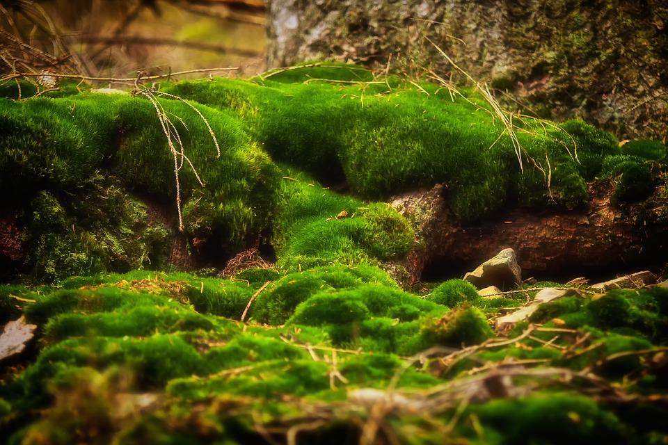 Moss, Forest, Green, Nature, Moss Fliegenpilz, Bemoost