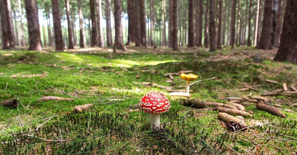 Mushroom, Moss, Forest, Fly Agaric, Fly Amanita