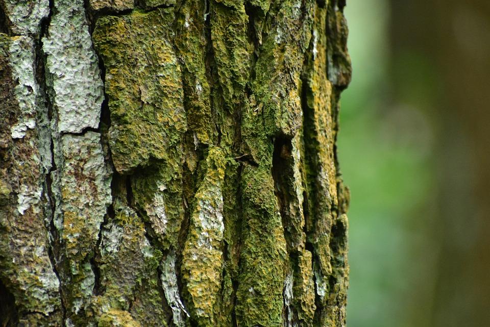 Pine Tree, Bark, Wood, Trunk, Moss, Outdoors, Desktop