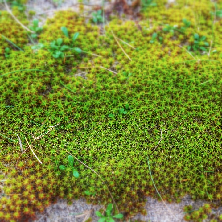 Star Moss, Moss, Fouling, Plant