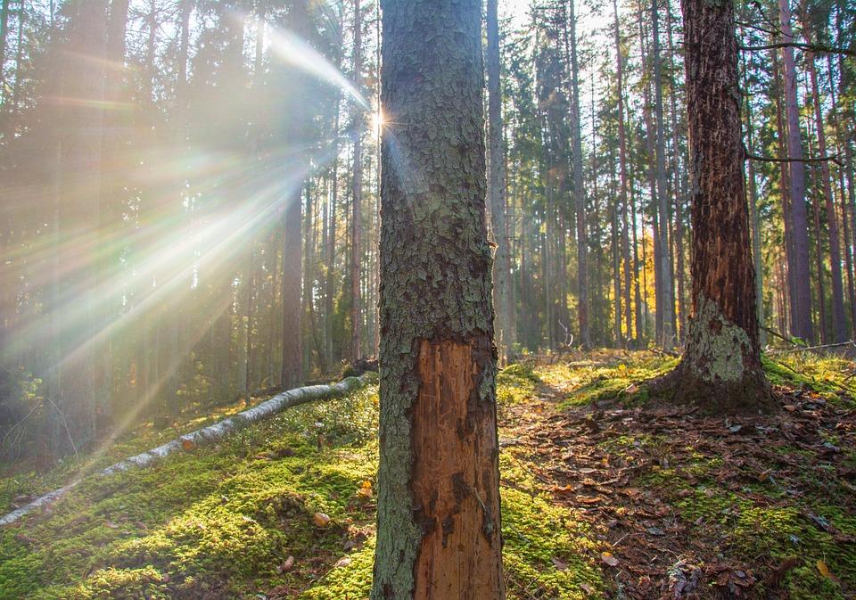 Forest, Sun, Tree, Pine, Moss, Light, Beam, Trail