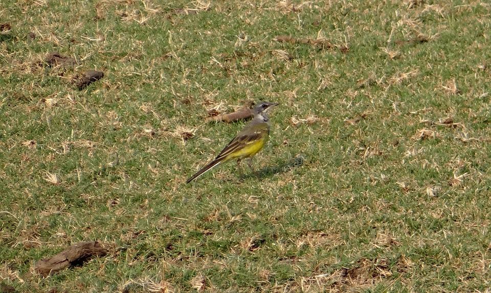 Yellow Wagtail, Motacilla Flava, Bird, Fauna, Aves