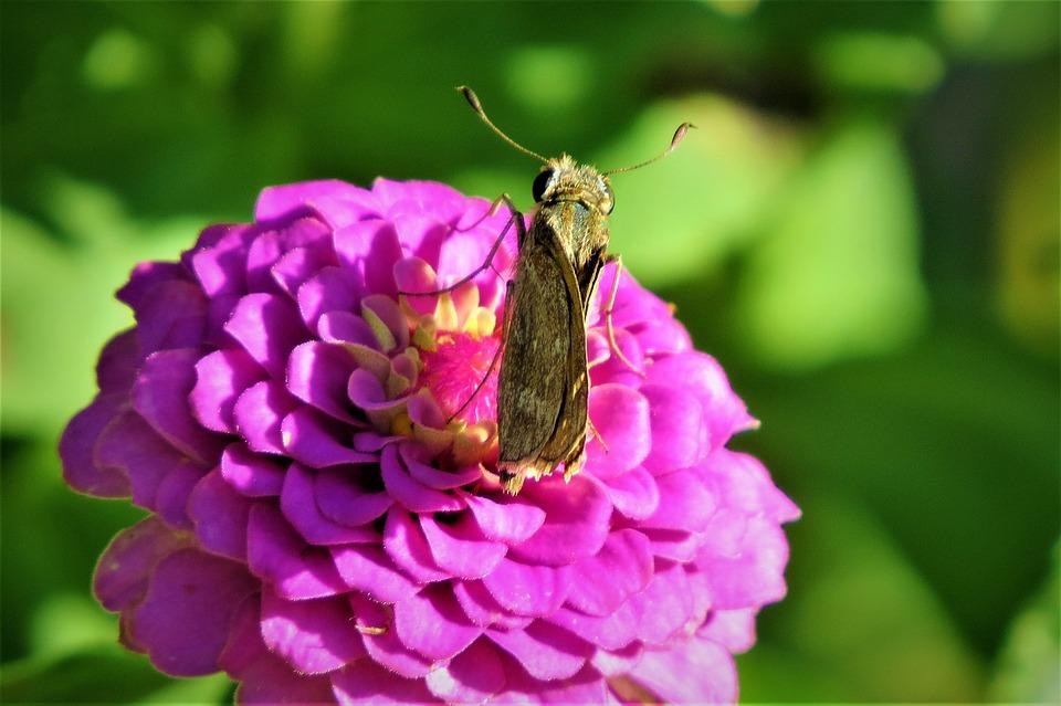Moth, Brown, Rust, Pink Flower, Garden